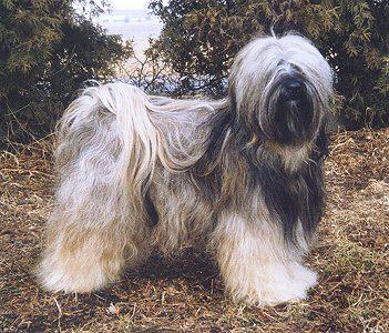 Tashi Bodjul Tibetan Terriers